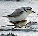 Snowy plover taking the chick under its wing
