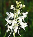 White-fringed orchids blooming at DLSP FL, 2017-08-30