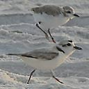 Two snowy plovers in Deer Lake State Park on 5-28-2017, 2017-07-19