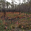 Video of Pitcher plants propagated in Deer Lake State Park, 2017-04-12