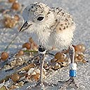 Snowy Plover chick in Deer Lake State Park (WB), 2018-07-18